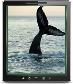 Whale Alert iPad and iPhone App Saves Whales on West Coast